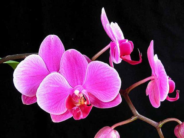 Doritaenopsis_happy_sheena_kirara_2